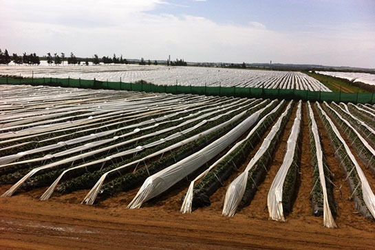 Strawberry crop 2014 Morocco