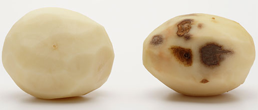 potato photo simplot innate