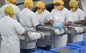 shrimp processing at seajoy plant